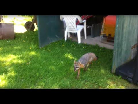 When Animals Attack: Rabid Fox: Rabies