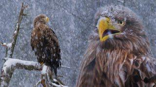 Орлан-белохвост в снегопад 4К | Film Studio Aves