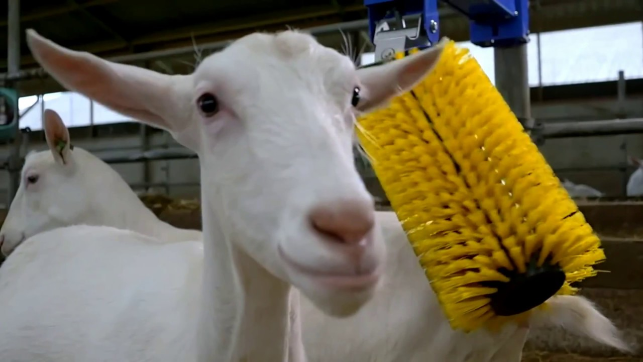 modern farming technologies automatic cow and goat brush cow