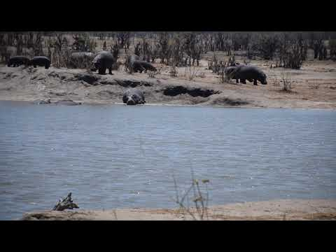 15102017 Hwange NP Hippos outside the water at shumba 4YT