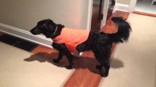 Our Silly Dog Freezes when She Puts on Her Safety Vest