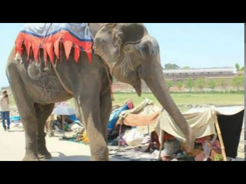 Raju The Crying Elephant Cries Tears of Joy After Being Rescued From 50 Years of Suffering and Abuse