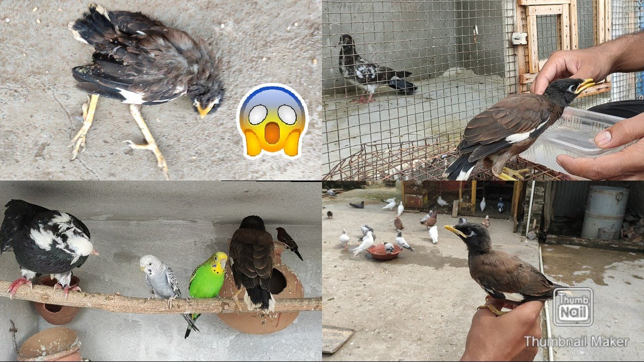 Rescued maina dead on 4th day    Pigeon vs Maina    rescued maina day by day video compilation