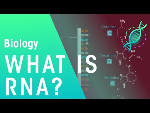 What is RNA | Biology for All | FuseSchool
