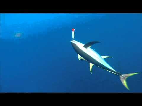 BlueWater Popping Vanuatu - yellowfin tuna June 2014