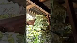 Suara burung jingjing batu