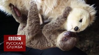 Игрушечный медведь стал ленивцу мамой - BBC Russian