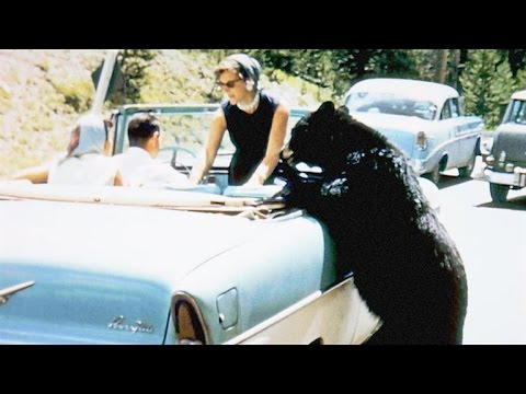 Crazy Vintage Footage of Park Visitors Feeding Bears
