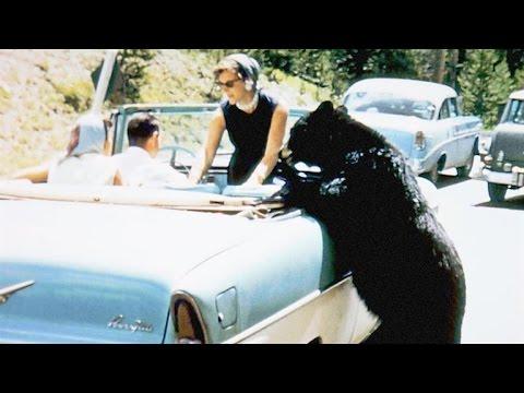 Crazy Vintage Footage of Park Visitors Feeding Bears