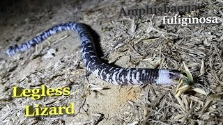 Legless Lizard or Black and White Worm Lizard ( Amphisbaena fuliginosa )