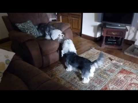 Dandie Dinmont Terrier Tug of War