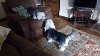 Dandie Dinmont Terrier Tug of War