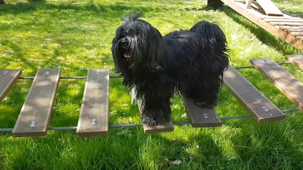 Tibet Terrier - YouTube