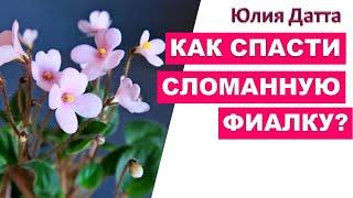 Как выходить фиалки Реанимация фиалок после ужасной пересылки Юлия Датта