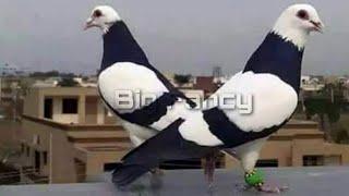 BEST Amazing Fancy Pigeon Farm | Fancy Pigeon Loft - Breeding fancy pigeon