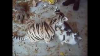 Тигрёнок играет с котом  Tiger kitten plays with cat