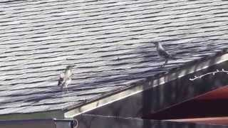 North Texas Mockingbird (Mimus polyglottos) mating dance