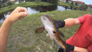 Bullseye Snakehead Fishing in Coral Springs Florida.