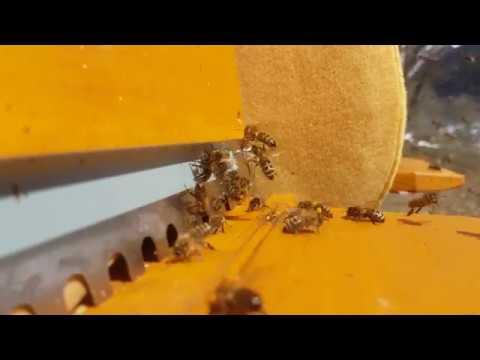 Alpenhonig-Bienen im März 2019