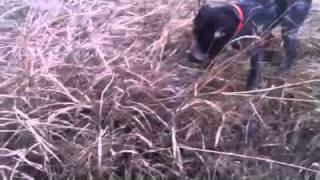 Deutsch Drahthaar-hunting Dog Training   Www.huntinginromania.com