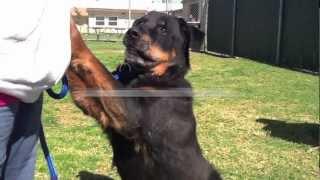 Meet Morrisey, A Handsome Black/brown Rottweiler