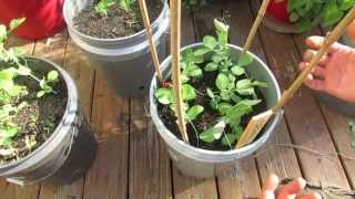 2 Of 4: Basic Trellising Of Your Spring & Fall Container Peas: My 1st Vegetable Garden - Mfg 2013