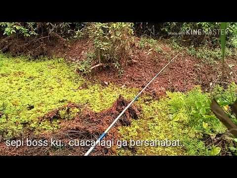 Mancing Betok Monster Di Hutan Kalimantan,,!!