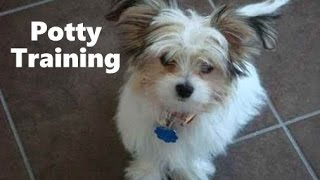 How To Potty Train A Papastzu Puppy - Papi Tzu House Training Tips - Housebreaking Papastzu Puppies