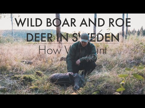 WILD BOAR AND ROE DEER HUNTING IN SWEDEN - HOW WE HUNT