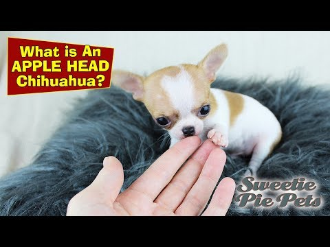 Apple Head Chihuahua vs Deer Head - What's The Difference? | Sweetie Pie Pets
