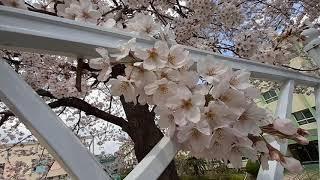 벚꽃 [꽃말: 순결, 절세미인]  Prunus serr…