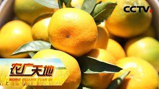 《农广天地》 20190523 柠檬撞脸橘 黑猪快乐养| CCTV农业