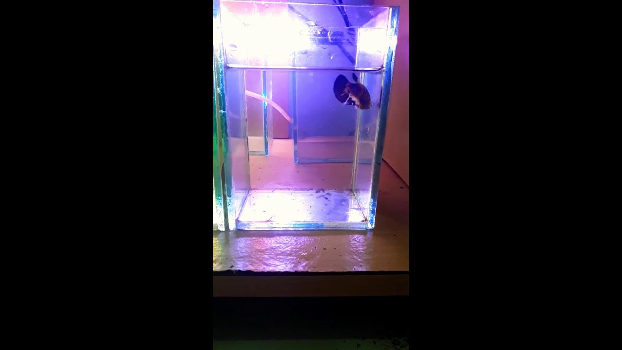 Ikan Cupang Koi (Tahap Mutasi) - YouTube