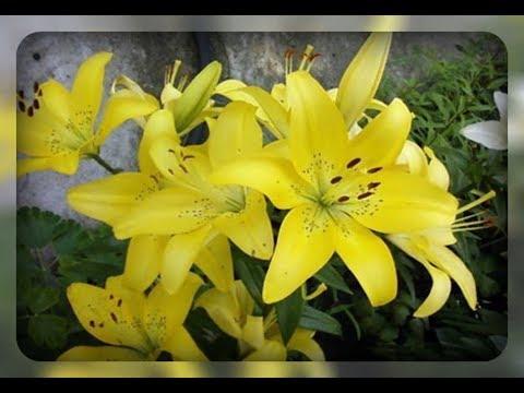 Желтые цветы  для вашего сада