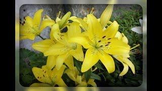видео Желтые цветы