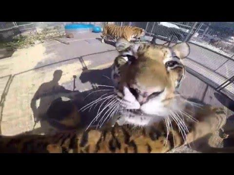Big Cat Trainer Alexander Lacey - Tiger GoPro Video