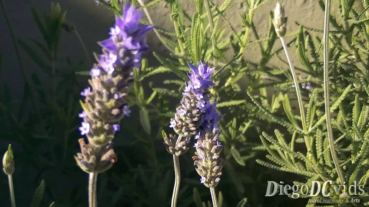 lavandula dentata alfazema french lavender lamiaceae - French Lavender
