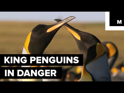 We Could See a Decline in King Penguins Thanks to — You Guessed It — Climate Change