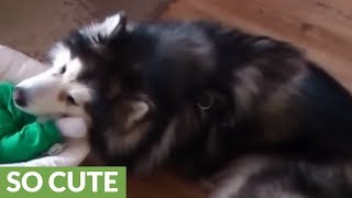 Alaskan Malamute watches over 4-month-old baby