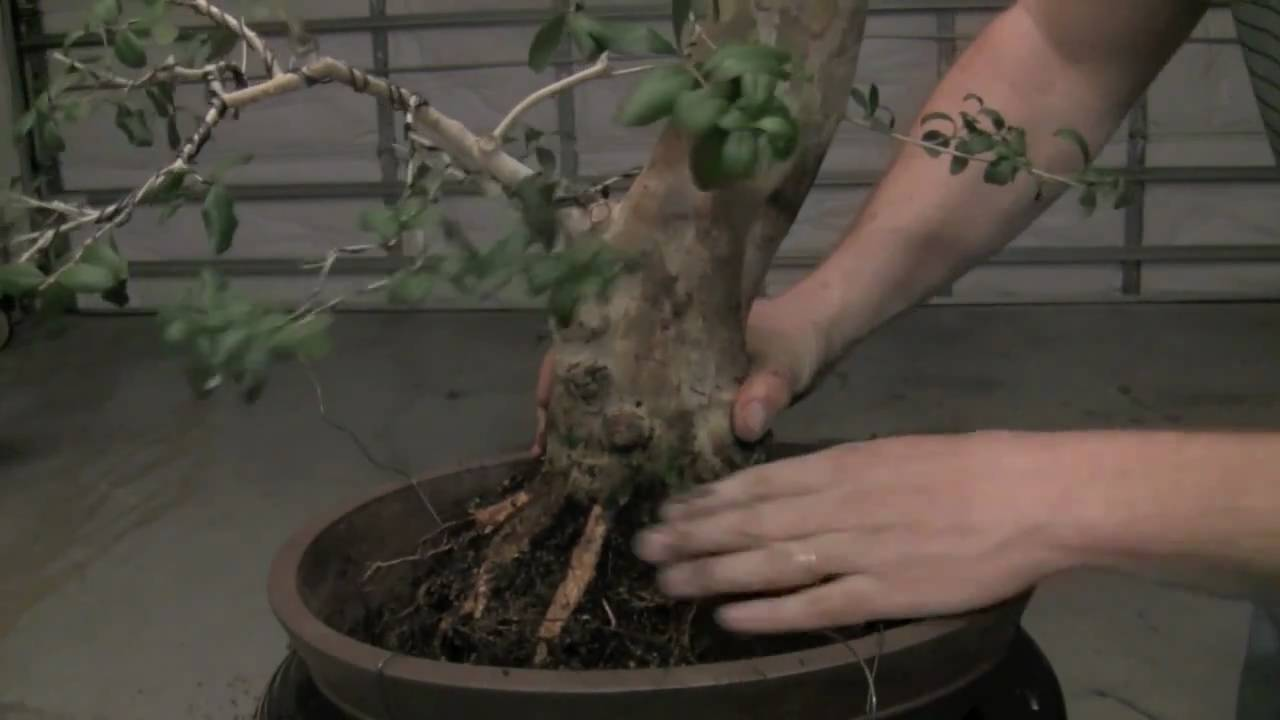 How To Bonsai Repotting A Tree And Wiring In Youtube