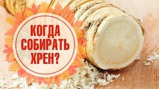 Хрен ➡ Сбор, хранение, полезные рецепты 🌟 Обзор hitsad.TV