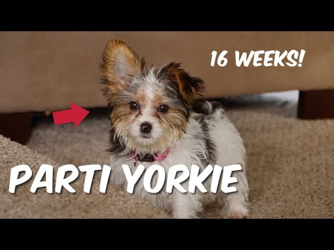 Parti Yorkie Puppy 16 Weeks Old Yorkies