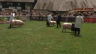 Pencampwriaeth Moch Cymreig Benyw | Welsh Pig Female Championship