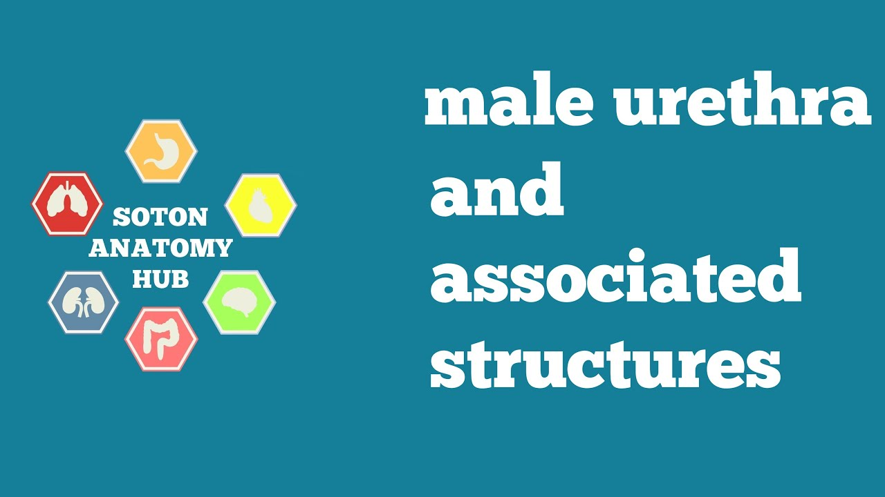 Male Urethra and associated structures - YouTube