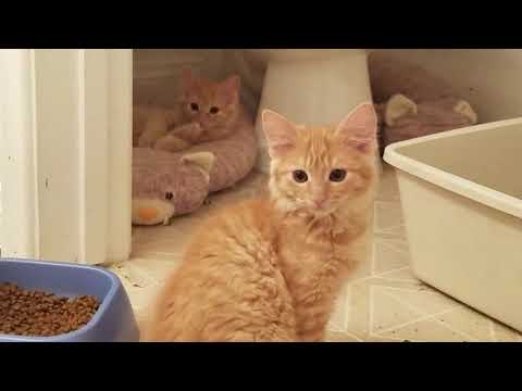 Orange Tabby Kittens With Mother - Cat Rescue - Available For Adoption