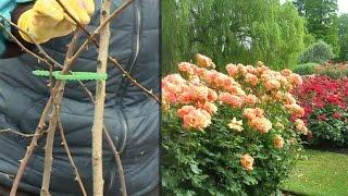 Уход за розами после зимовки