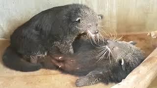 binturong bearcat mating