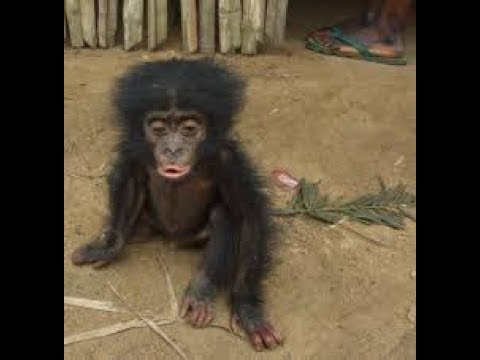 Baby Chimp Crying To Ride