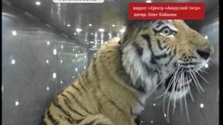 Знаменитого тигра Владика выпустили на свободу
