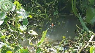 Câu cá ổ | Câu cá gặp ổ cá rô khủng nữa rồi thả xuống là ăn | Nguyên Khôi TV